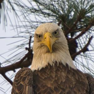 Dauphin Island eagle starring